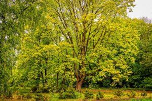 木,クラウン,巨大な,緑