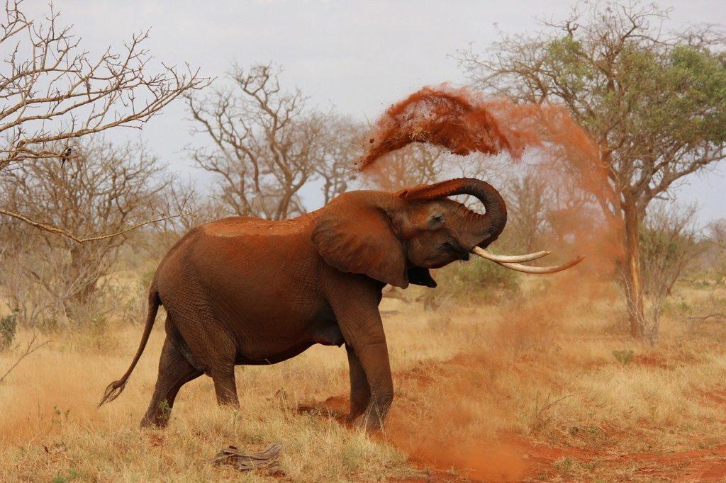 象,アフリカ,アフリカ象