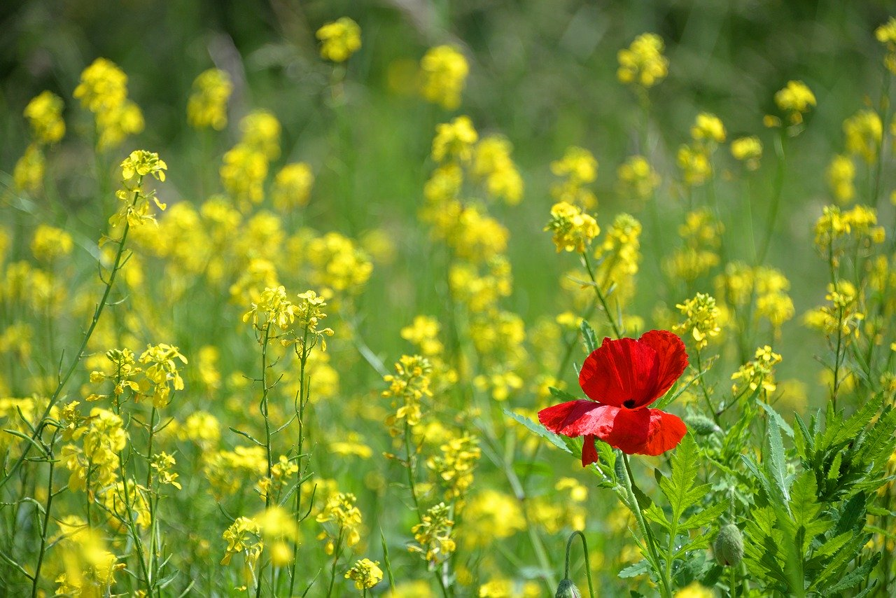 poppy, only, isolated form